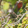 Chipping Sparrow <br /> Condo Area <br /> Lake of the Ozarks State Park <br /> 2013-09-29