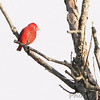 Summer Tanager <br /> Condo Area <br /> Lake of the Ozarks State Park <br /> 2013-09-29