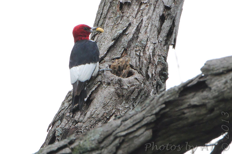 Read-headed Woodpecker <br /> Willmore Lodge <br /> Lake of the Ozarks <br /> 2013-09-28
