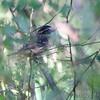 Rose-breasted Grosbeak <br /> Pin Oak  <br /> Lake of the Ozarks State Park <br /> 2013-09-29