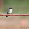Eastern Phoebe <br /> Stables  <br /> Lake of the Ozarks State Park <br /> 2013-09-29
