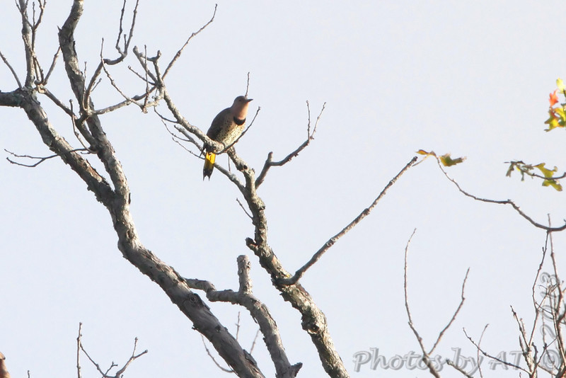 Northern Flicker <br /> Condo Area <br /> Lake of the Ozarks State Park <br /> 2013-09-29