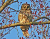 Barred Owl, Daniel's Run Park, Fairfax City, VA, 4-6-13