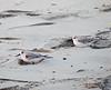 Sanderlings waking up