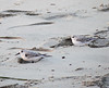 Sanderlings waking up
