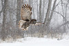 2013 Great Gray Owls : I went to Ottawa in 2/2013 after finally finding a weather report indicating they were expecting 2 days of falling snow.  I met up with Marc Latremouille who is an owl whisperer.  The first afternoon there was full sun but great tree shadows and then the next day it was like magic.the weather prediction came true...falling snow all day.  The third day the fresh snow was everwhere. I shot with my 1DM4, and either the 70-200 f4 or 300 f2.8 at least 80 percent of the time.  Using the 500 on a tripod for distant static images.  Just a batch of great images thanks to Marc.  These owls have no fear of man