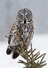 Falling snow.  These great gray owls are the largest owls in North America..a bit larger than snowy owls  yet there talons at tiny.  They feast on voles not the larger prey that a snowy can prey upon.  Note how their talons wrap about this young evergreen branch