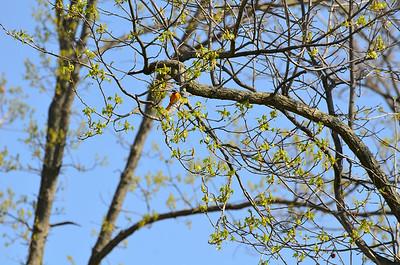 2014-05-06 Birds Dawes