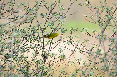 2014-05-08 Birds Magee Marsh