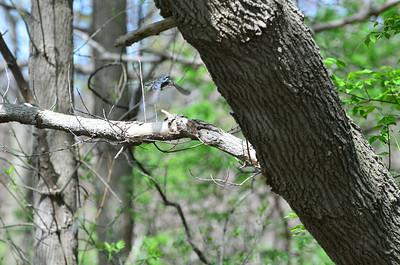 2014-05-10 Magee Marsh Birds