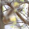 Blackpoll Warbler <br /> Castlewood State park <br /> 2014-04-17