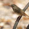 Hermit Thrush <br /> Tower Grove Park