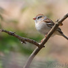 Field Sparrow <br /> Tower Grove Park