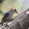 Red-bellied Woodpecker <br /> Tower Grove Park