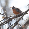 American Robin <br /> City of Bridgeton <br /> St. Louis County, Missouri <br /> 2014-04-16