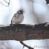Chipping Sparrow <br /> City of Bridgeton <br /> St. Louis County, Missouri <br /> 2014-04-16