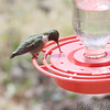 Ruby-throated Hummingbird <br /> City of Bridgeton <br /> St. Louis County, Missouri <br /> 2014-04-16