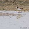 Semipalmated Plover <br /> Confluence Point State Park Road