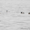 Mallards and Common Goldeneye <br /> Mississippi River (just above Clark Bridge) <br /> Riverlands Migratory Bird Sanctuary <br /> 12/12/14