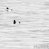 Lesser Scaup and Common Goldeneye <br /> Mississippi River (just above Clark Bridge) <br /> Riverlands Migratory Bird Sanctuary <br /> 12/12/14