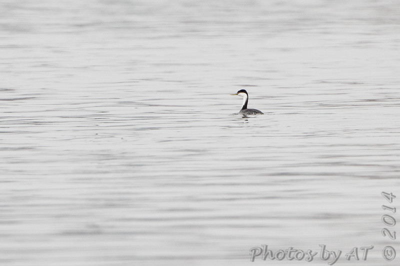 """Western Grebe <br> Mississippi River (just above Clark Bridge) <br> Riverlands Migratory Bird Sanctuary <br> <span style=""""color:yellow; font-size:110%"""">12/12/14</span>"""