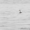 "Western Grebe <br> Mississippi River (just above Clark Bridge) <br> Riverlands Migratory Bird Sanctuary <br> <span style=""color:yellow; font-size:110%"">12/12/14</span>"