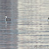 "Western Grebe and Common Goldeneye <br> Mississippi River (just above Clark Bridge) <br> Riverlands Migratory Bird Sanctuary <br> <span style=""color:yellow; font-size:110%"">12/13/14</span>"