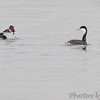 Western Grebe  and Canvasback <br /> Mississippi River (just above Clark Bridge) <br /> Riverlands Migratory Bird Sanctuary <br /> 12/12/14