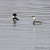 Western Grebe and Common Goldeneye <br /> Mississippi River (just above Clark Bridge) <br /> Riverlands Migratory Bird Sanctuary <br /> 12/13/14
