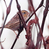 LeConte's Sparrow <br /> Just past pipeline pool <br /> Confluence Point State Park