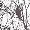 Red-tailed Hawk <br /> City of Bridgeton  <br /> St. Louis County, Missouri <br /> 12/07/14
