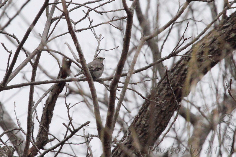 Townsend's Solitaire <br /> Young Conservation Area