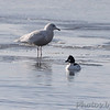 Glaucous Gull <br /> and Common Goldeneye <br /> Heron Pond <br /> Riverlands Migratory Bird Sanctuary