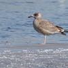 Herring Gull <br /> Ellis Bay behind Audubon Center <br /> Riverlands Migratory Bird Sanctuary
