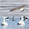 Great Black-backed Gull <br /> Trumpeter Swans and Herring Gull <br /> Common Mergansers and Common Goldeneye <br /> Ellis Bay behind Audubon Center <br /> Riverlands Migratory Bird Sanctuary <br /> 2014-02-03<br /> <br /> Great Black-backed Gull is No. 331 on my<br />  Lifetime List of Bird Species Photographed in Missouri