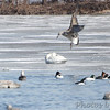 Great Black-backed Gull <br /> Trumpeter Swans and Herring Gull <br /> Common Mergansers and Common Goldeneye <br /> Ellis Bay behind Audubon Center <br /> Riverlands Migratory Bird Sanctuary