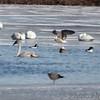 Great Black-backed Gull <br /> Herring Gull <br /> Common Merganser and Common Goldeneye<br /> Ellis Bay behind Audubon Center <br /> Riverlands Migratory Bird Sanctuary