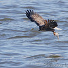 Bald Eagle <br /> Melvin Price Lock and Dam 26 (Alton) <br /> Riverlands Migratory Bird Sanctuary