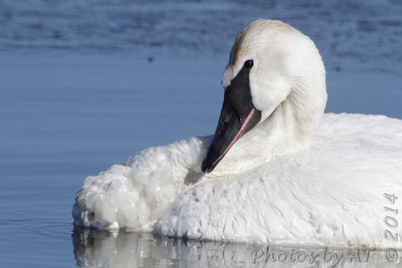 Trumpeter Swan <br /> Ellis Bay behind Audubon Center <br /> Riverlands Migratory Bird Sanctuary