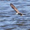Bald Eagle <br /> Melvin Price Lock and Dam 26 (Alton) <br /> Riverlands Migratory Bird Sanctuary