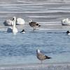 Great Black-backed Gull <br /> Trumpeter Swans and Herring Gull <br /> Common Merganser and Common Goldeneye <br /> Ellis Bay behind Audubon Center <br /> Riverlands Migratory Bird Sanctuary