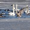 Trumpeter Swans and Herring Gulls <br />  and Common Goldeneye <br /> Ellis Bay behind Audubon Center <br /> Riverlands Migratory Bird Sanctuary