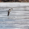 Great Black-backed Gull <br /> Ellis Bay behind Audubon Center <br /> Riverlands Migratory Bird Sanctuary