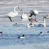 Great Black-backed Gull <br /> Trumpeter Swans and Herring Gull <br /> Common Merganser and Common Goldeneye<br /> Ellis Bay behind Audubon Center <br /> Riverlands Migratory Bird Sanctuary