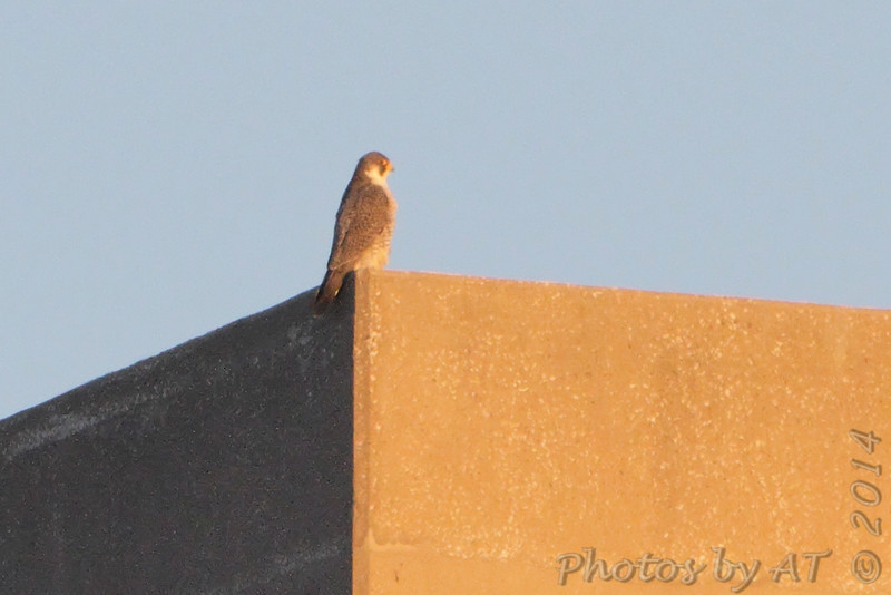 Peregrine Falcon  <br /> Melvin Price Lock and Dam 26 (Alton) <br /> Riverlands Migratory Bird Sanctuary