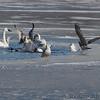 Trumpeter Swans and Herring Gull <br /> Common Mergansers and Common Goldeneye <br /> Ellis Bay behind Audubon Center <br /> Riverlands Migratory Bird Sanctuary