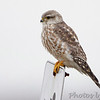 Merlin (Prairie)<br /> Wise Road and Riverlands Way intersection<br /> Riverlands Migratory Bird Sanctuary