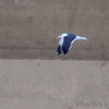 Lesser Black-backed Gull <br /> Below dam in Illinois <br /> Riverlands Migratory Bird Sanctuary