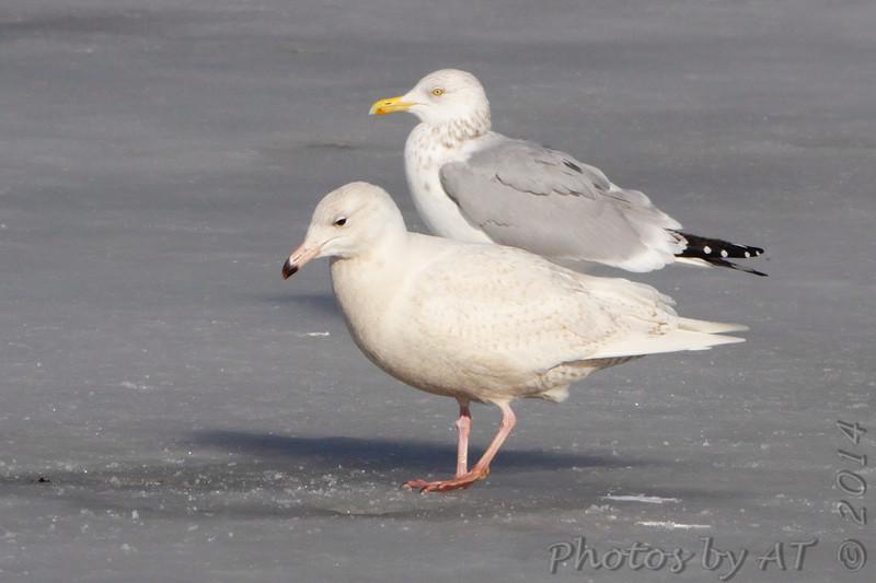 Glaucous Gull and Herring Gull <br /> Ellis Bay <br /> Riverlands Migratory Bird Sanctuary
