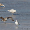 Glaucous Gull and Herring Gull <br /> Ellis Bay <br /> Riverlands Migratory Bird Sanctuary